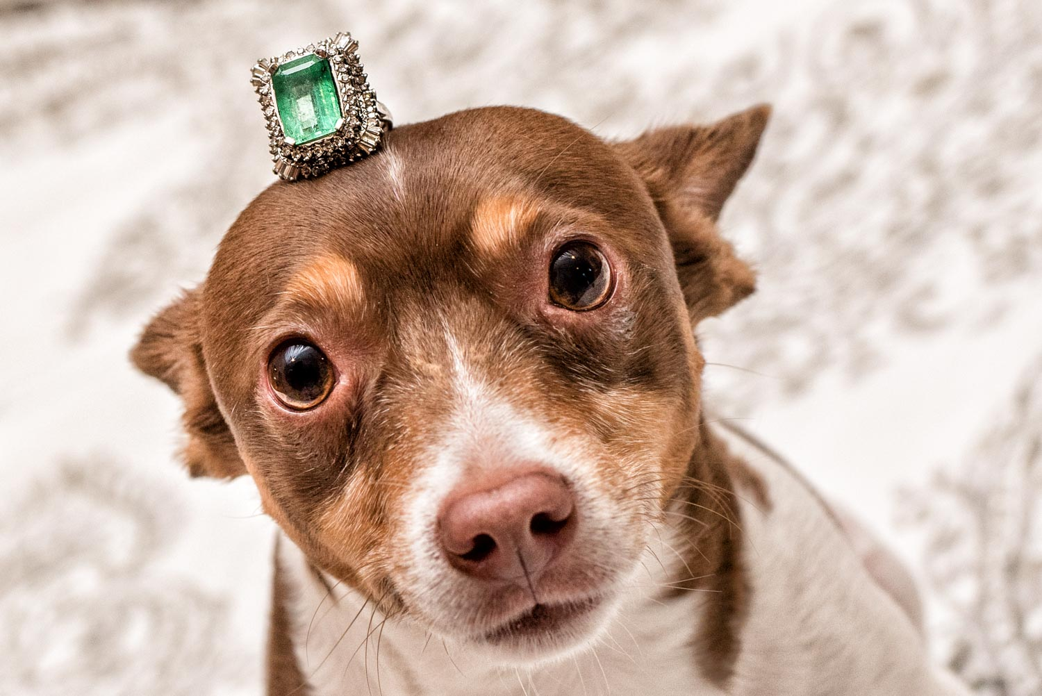 The Brides large emerald wedding ring sitting on top of a dogs head. The ring is so big it could almost be a little hat for the dog.